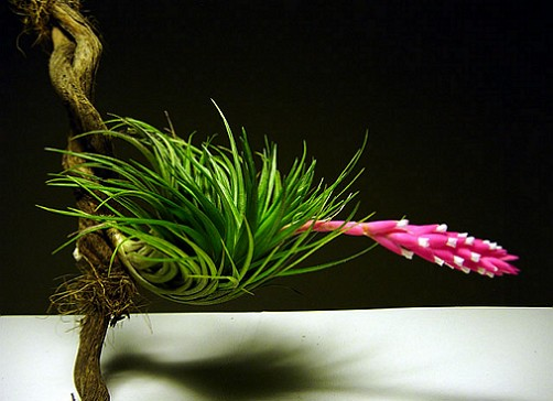 tillandsia_tenuifolia_2