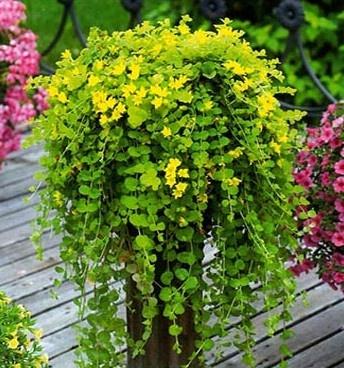 बारहमासी फूल - पौधे - फोटो एलबम - सुंदर गार्डन