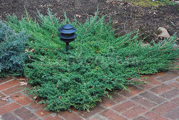 Juniperus recumbens (Juniperus procumbens). plantes couvre-sol, Kiev, Ukraine / Yalіvets couché (Juniperus procumbens). Gr