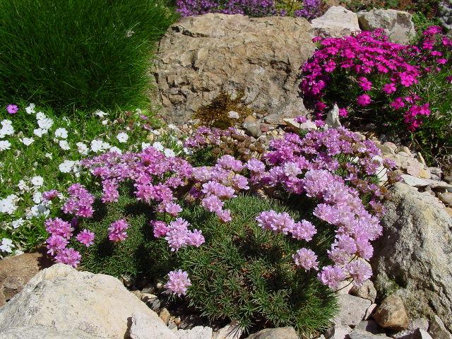 गुलाबी फूल - फोटो, विवरण, विशेषताओं