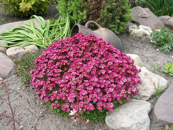 fleurs de jardin Saxifrage (saxifraga) Bordeaux, rose, violet, jaune, blanc photos, la culture, la plantation et les soins, acheter Kam