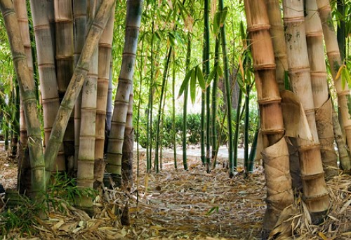 Nature___Forest_Bamboo_in_the_wild_058471_
