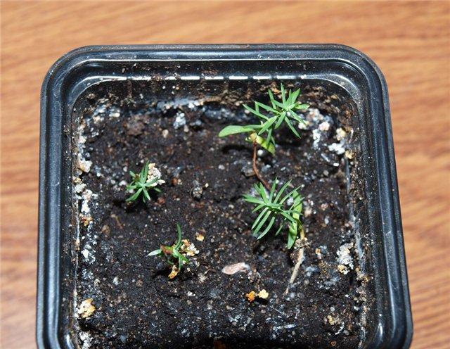 Туя из семян в домашних условиях фото