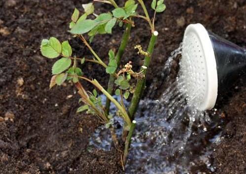 наводнување рози